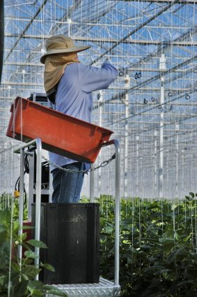 A NatureFresh farmer adjusts supporting strings for tomato vine plants.