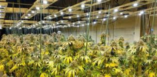 Grow Op - marijuana