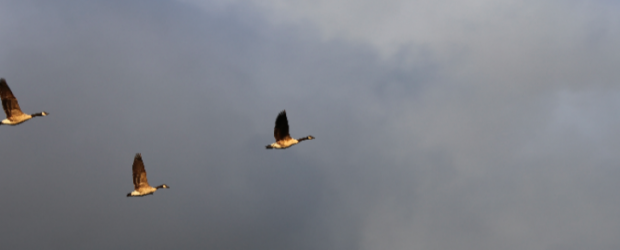 Canadian Geese flying in sky